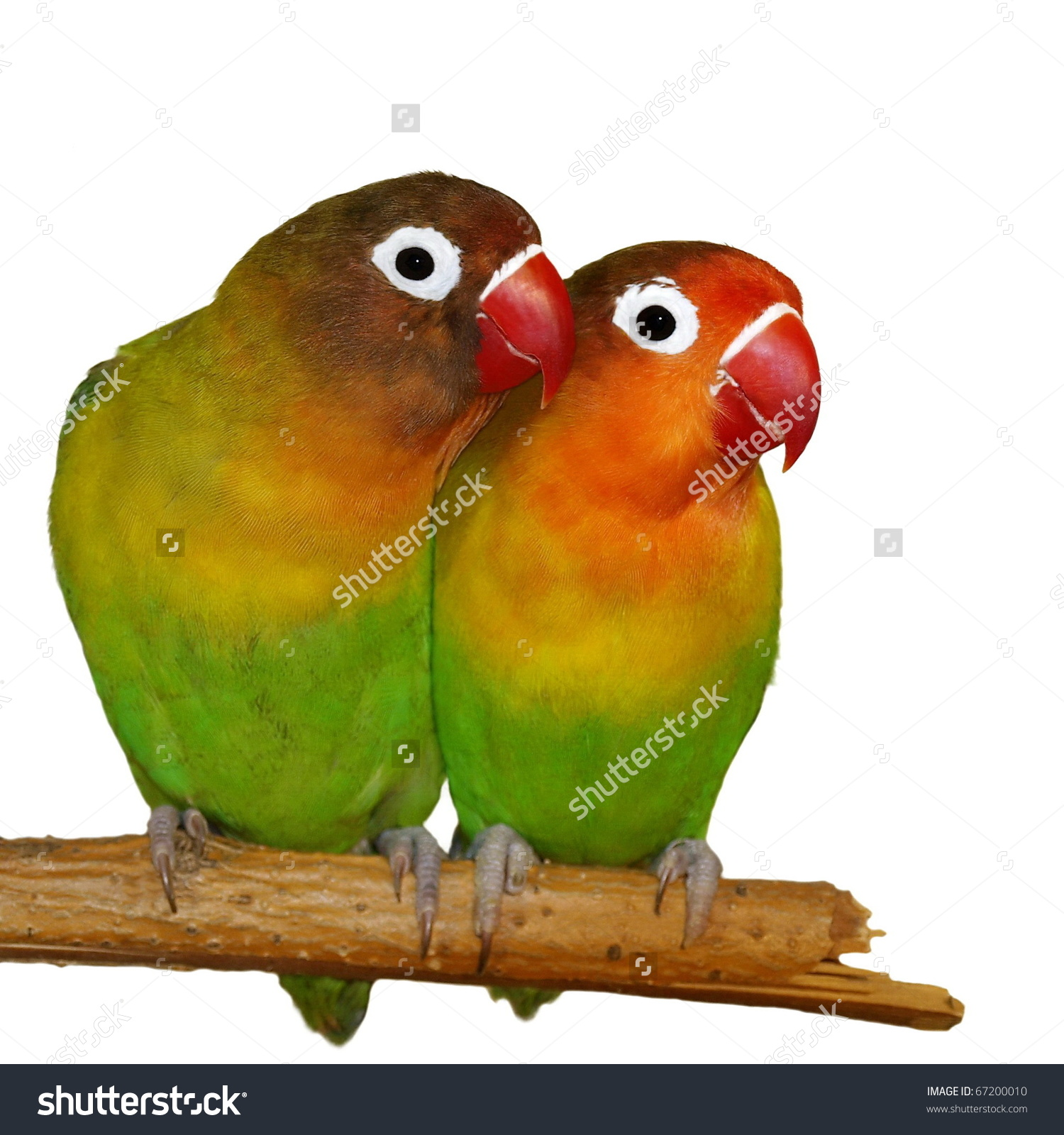 Lovebirds Isolated On White Agapornis Fischeri Stock Photo.