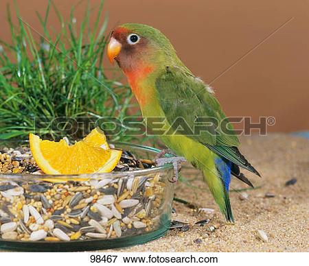 Picture of Fischer's lovebird at bowl / Agapornis fischeri 98467.