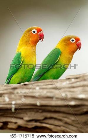 Pictures of Couple Fischer's Lovebird. Agapornis fischeri. t69.