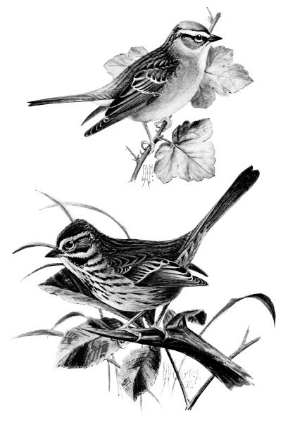 vintage bird clip art, song sparrow, chipping sparrow, black and.