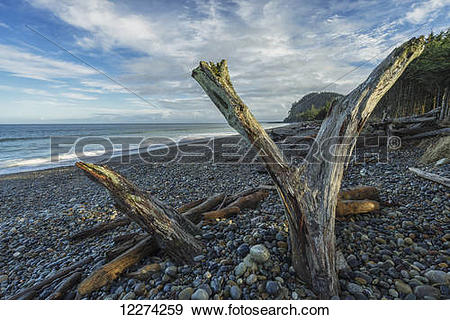 Stock Photograph of Driftwood stands up on Agate Beach, the north.