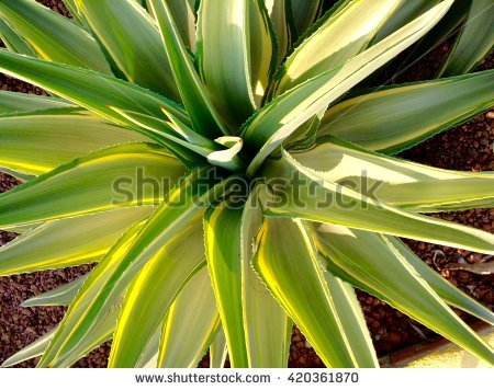 Agavaceae Stock Photos, Royalty.