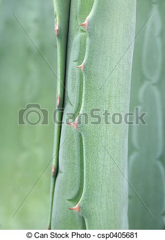 Stock Photography of agave ,detail, lat. Agavaceae csp0405681.