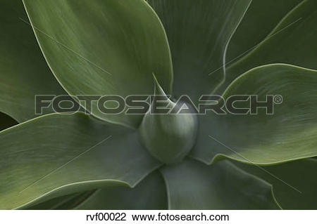 Stock Photo of Australia, Queensland, Agave plant (Agavaceae.