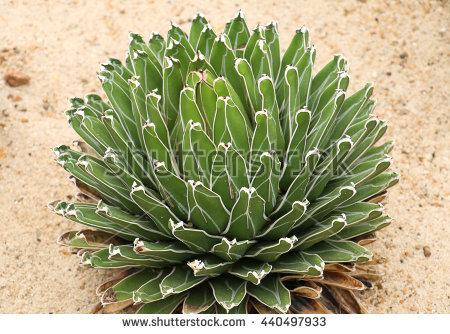 Agavaceae Banco de Imagens, Fotos e Vetores livres de direitos.