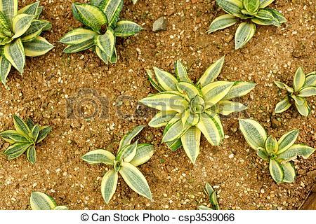 Stock Image of agavaceae , sansevieria trifasciata , hahnii.