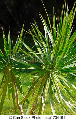 Stock Photography of Dracaena Agavaceae..