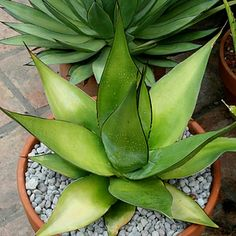 Agaves on Pinterest.