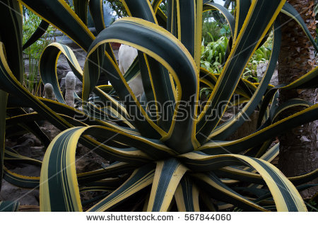 Century Plant Agave Stock Photos, Royalty.