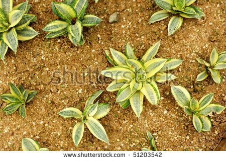 Agavaceae , Sansevieria Trifasciata , Hahnii Variegata Stock Photo.