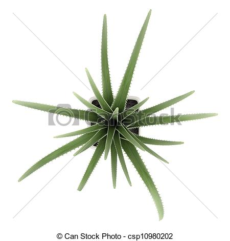 Stock Illustration of Century plant or Agave americana isolated on.