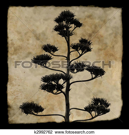 Stock Illustration of Century plant or Agave americana k6124916.