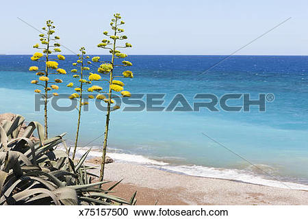 Stock Photography of Century Plant (Agave americana), Greece.