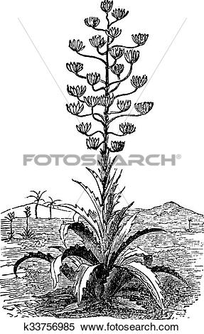 Clipart of Century plant or Agave Americana old vintage engraving.