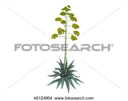 Drawings of Century plant or Agave americana k6124904.