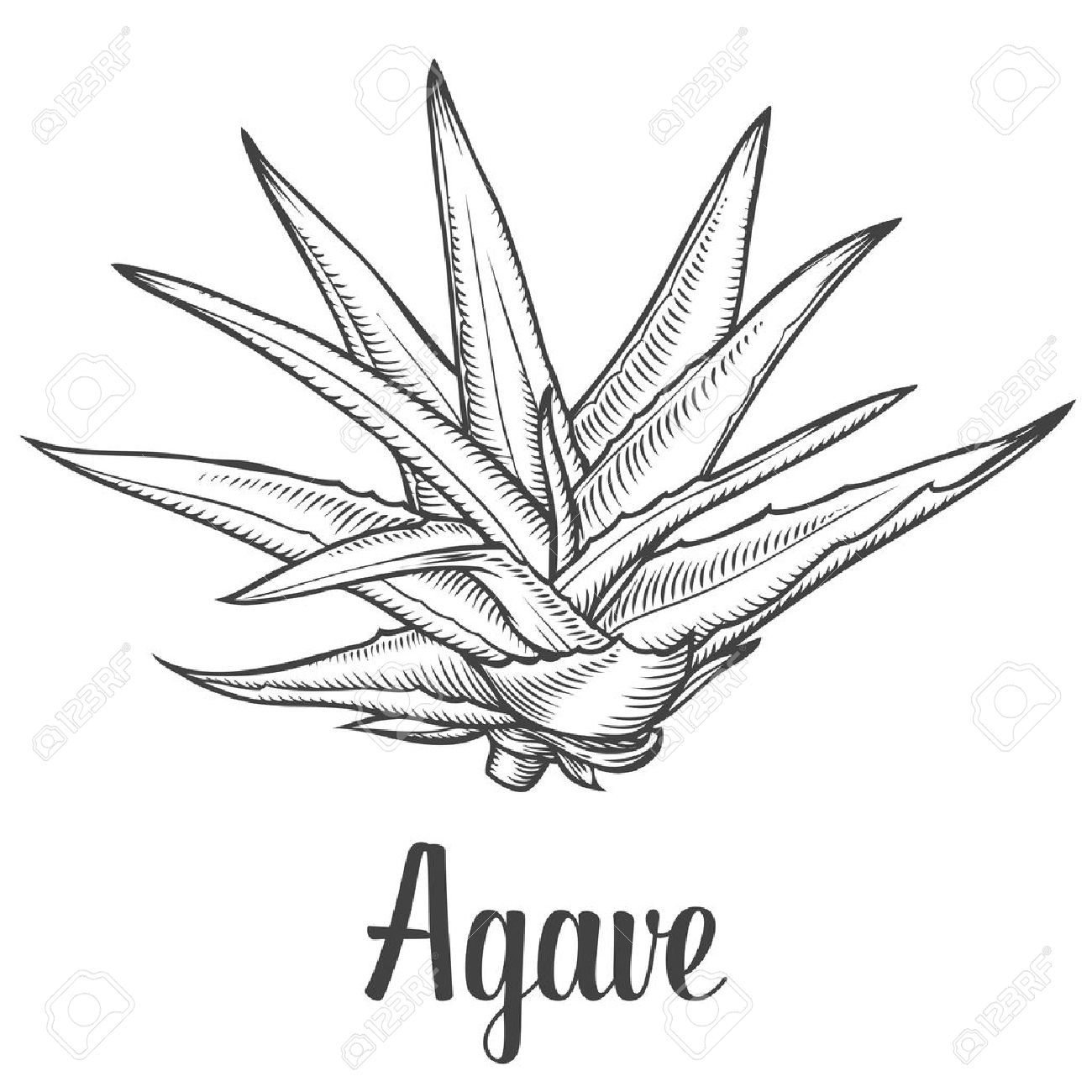 1,186 Agave Stock Vector Illustration And Royalty Free Agave Clipart.