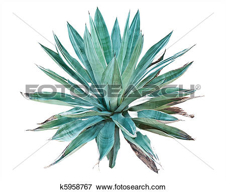 Agave Stock Photo Images. 4,777 agave royalty free pictures and.