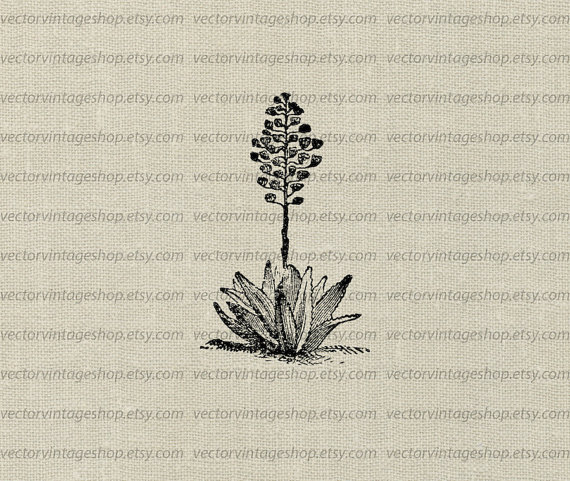 Agave Plant Vector Clipart Download Aloe Herb Flower Blossoms by.