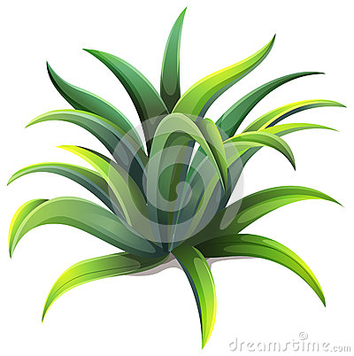 Agave Plant Stock Illustrations.