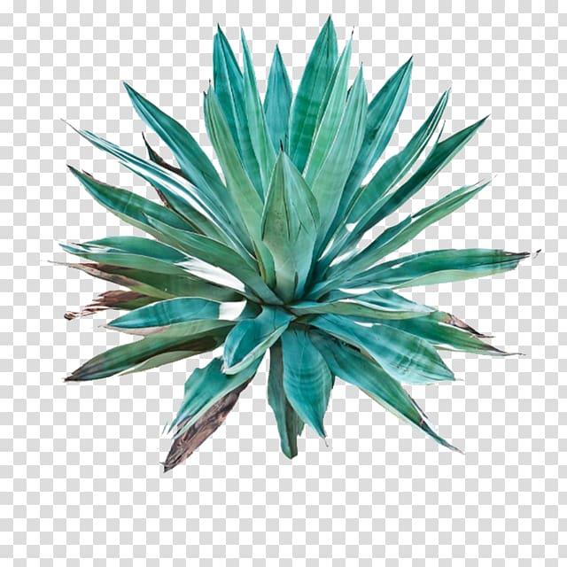 Agave azul Tequila Century plant Pulque Cactaceae, Tequila.