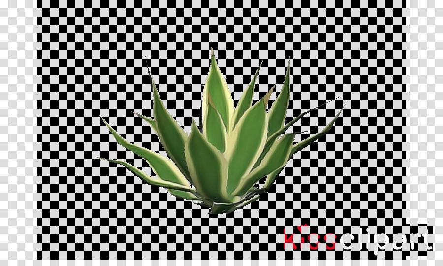 plant agave leaf flower terrestrial plant clipart.