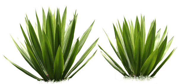 Download Free png Agave.