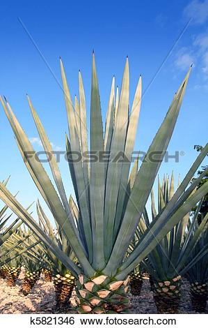 Stock Images of Agave tequilana plant for Mexican tequila liquor.