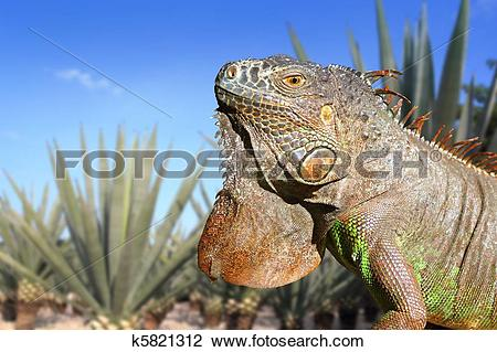 Stock Photo of Iguana Mexico in agave tequilana field blue sky.