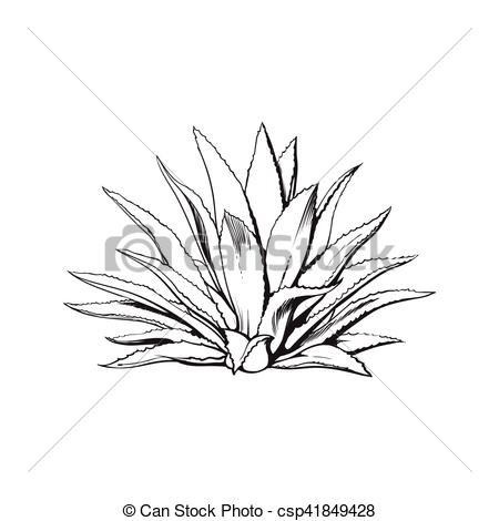 Vector Illustration of Hand drawn blue agave, main tequila.