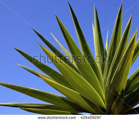 Agave Stock Photos, Royalty.
