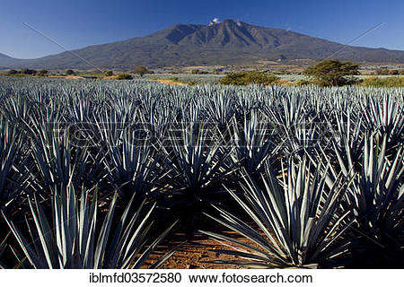 "Stock Photography of ""Field of agaves, Tequila, Jalisco, Mexico."
