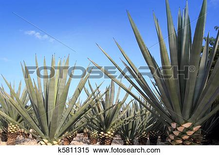 Stock Image of Agave tequilana plant for Mexican tequila liquor.