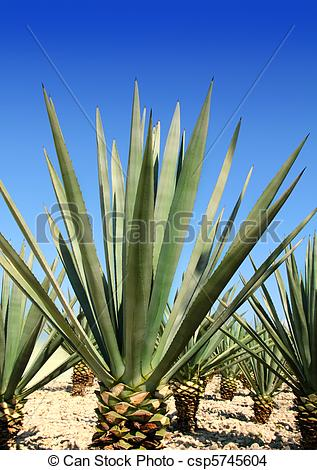 Stock Photo of Agave tequilana plant for Mexican tequila liquor.