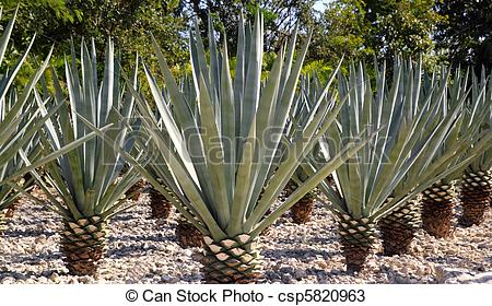 Stock Photos of Agave tequilana plant for Mexican tequila liquor.