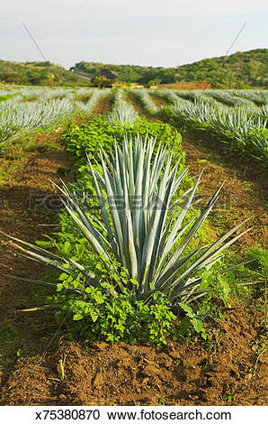 Stock Photography of Blue agave tequilana plant x75380870.