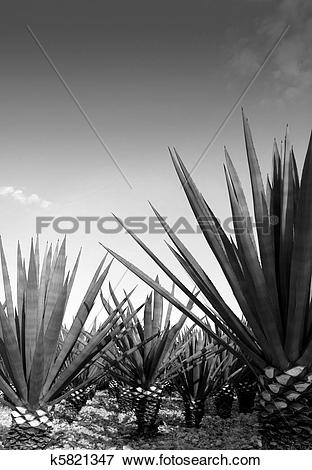 Picture of Agave tequilana plant for Mexican tequila liquor.