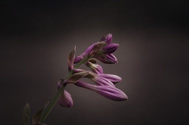 Free photo Purple Flower Purple Blossom Hosta Hosta Flower.