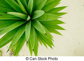 Pictures of Yucca is a genus of perennial shrubs and trees in the.