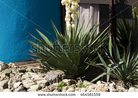 Agave Family Stock Photos, Royalty.