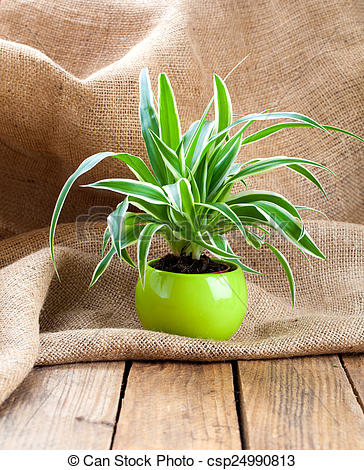 Stock Photography of green Chlorophytum plant in the pot, on.