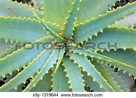 Stock Photo of Agave plant Island of El Hierro, Canary Islands.