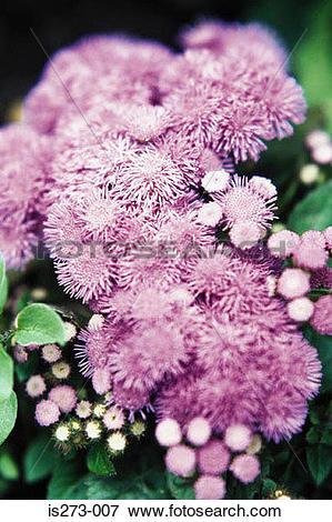 Picture of Purple ageratum is273.