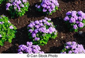 Stock Images of Floss Flower.