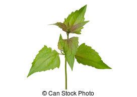 Stock Photos of Siam weed or Ageratum houstonianum.