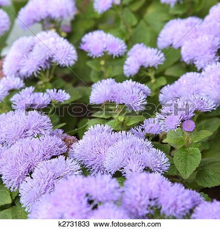 Stock Photo of Ageratum flower k2731833.