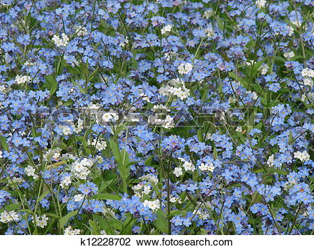 Clip Art of The bed of white blue flowers background k12228702.
