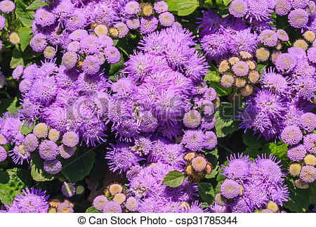 Stock Photo of Floss flower Awesome leilani blue or ageratum blue.
