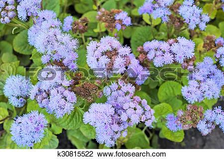 Stock Photo of Background of purple Ageratum k30815522.