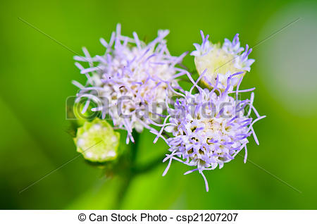 Stock Photography of Flowers of Billy Goat Weed ( Ageratum.