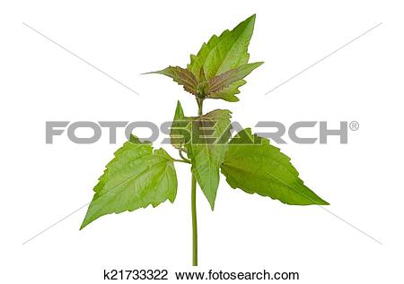 Stock Photo of Siam weed or Ageratum houstonianum isolated on.